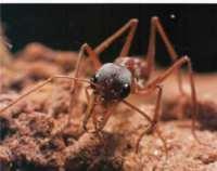 Black+Bulldog+Ant+of+Australia 7 Serangga Pemegang Rekor Di Dunia