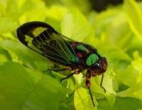 cicada 7 Serangga Pemegang Rekor Di Dunia