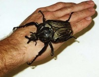 goliathus 7 Serangga Pemegang Rekor Di Dunia